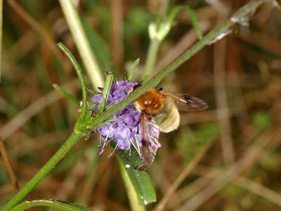 Arctophila fulva [Famille : Syrphidae]