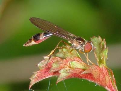 Baccha elongata [Famille : Syrphidae]