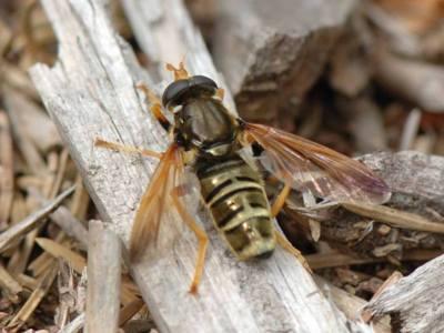 Caliprobola speciosa [Famille : Syrphidae]