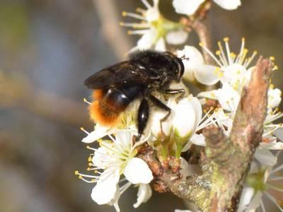 Criorhina ranunculi [Famille : Syrphidae]