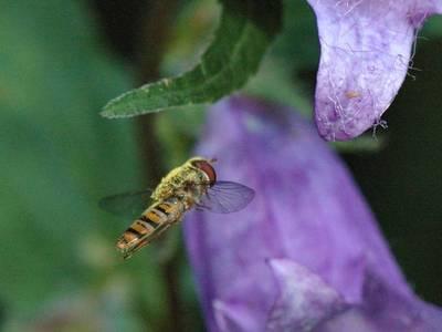Episyrphus balteatus [Famille : Syrphidae]