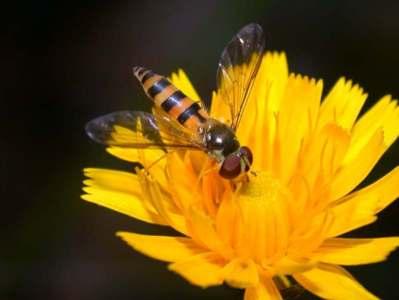 Episisyrphus cinctellus [Famille : Syrphidae]