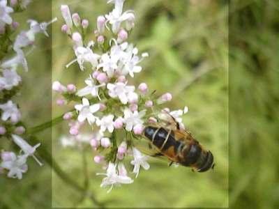 Eristalis horticola [Famille : Syrphidae]