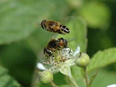 Eristalis nemorum [Famille : Syrphidae]