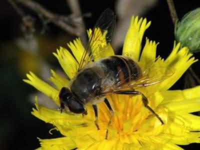 Eristalis tenax [Famille : Syrphidae]