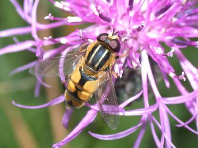 Helophilus hybridus [Famille : Syrphidae]