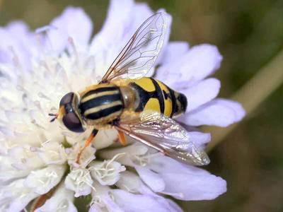 Helophilus trivittatus [Famille : Syrphidae]