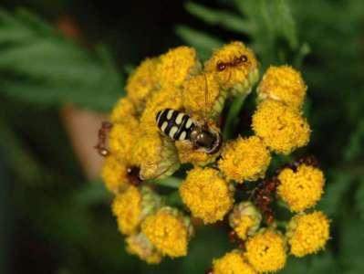 Eupeodes corollae [Famille : Syrphidae]
