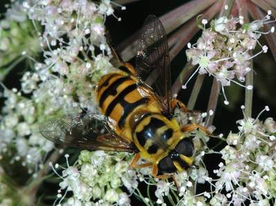 Myathropa florea [Famille : Syrphidae]