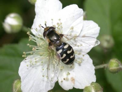 Scaeva pyrastri [Famille : Syrphidae]