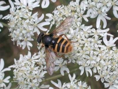 Sericomyia silentis [Famille : Syrphidae]