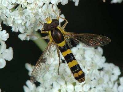 Sphaerophoria scripta [Famille : Syrphidae]