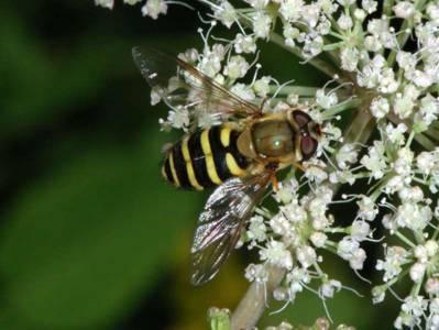 Syrphus ribesii [Famille : Syrphidae]