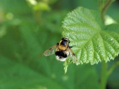 Volucella bombylans [Famille : Syrphidae]
