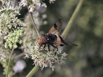 Volucella pellucens [Famille : Syrphidae]
