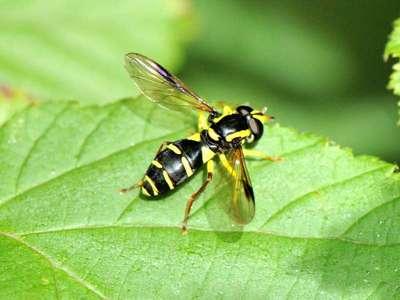 Xanthogramma pedissequum [Famille : Syrphidae]