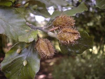 Mikolia fagi [Famille : Cecidomyiidae]