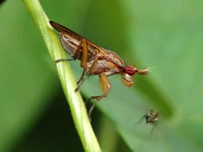 Elgiva cucularia [Famille : Sciomyzidae]
