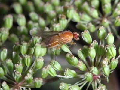 Dryomyza flaveola [Famille : Dryomyzidae]