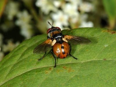 Gymnosoma rotundatum [Famille : Tachinidae]