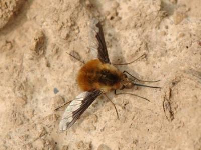 Bombylius major [Famille : Bombyliidae]