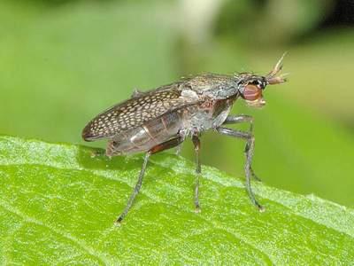 Coremacera marginata [Famille : Sciomyzidae]