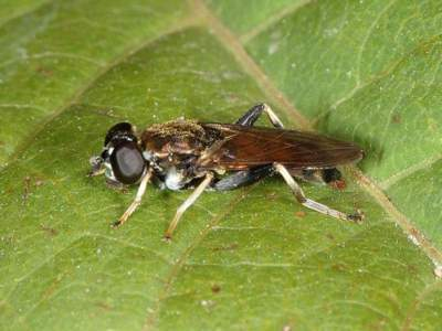 Xylota segnis [Famille : Syrphidae]