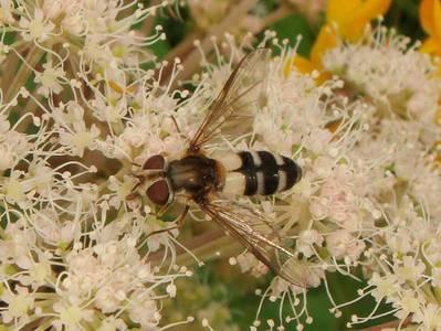 Leucozona laternaria [Famille : Syrphidae]