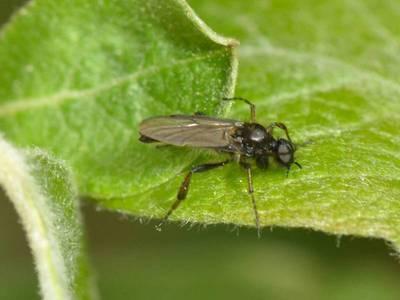 Bibio lanigerus [Famille : Bibionidea]