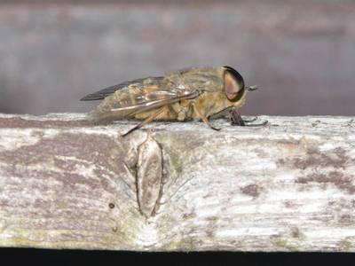 Tabanus bromius [Famille : Tabanidae]