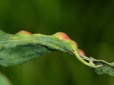 Wachtliella persicariae [Famille : Cecidomyiidae]