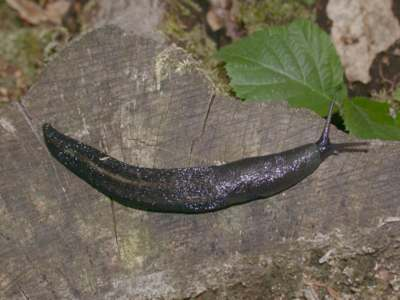 Limax cinereoniger [Famille : Limacidae]