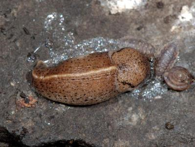 Tandonia rustica [Famille : Milacidae]