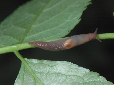 Deroceras panormitanum [Famille : Agriolimacidae]