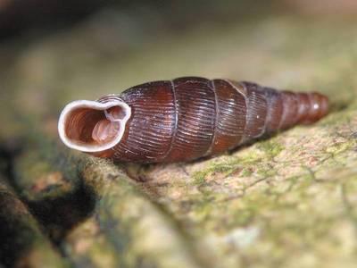 Macraogastra rolphii [Famille : Clausiliidae]