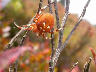 Araneus quadratus [Famille : Araneidae]