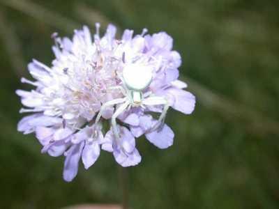 Misumena vatia [Famille : Thomisidae]