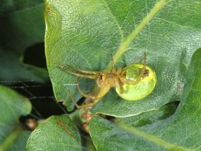 Araniella cucurbitina [Famille : Araneidae]