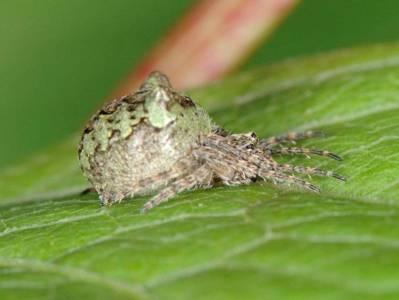 Gibbaranea gibbosa [Famille : Araneidae]