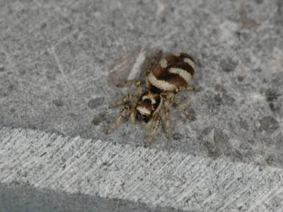 Salticus scenicus [Famille : Salticidae]