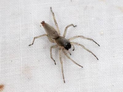 Clubonia species [Famille : Clubionidae]