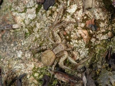 Xysticus cristatus [Famille : Thomisidae]