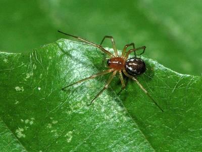 Neriene clathrata [Famille : Lyniphiidae]