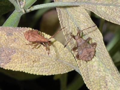 Coreus marginatus [Famille : Coreidae]