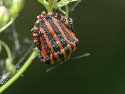 Graphosoma lineatum [Famille : Pentatomidae]