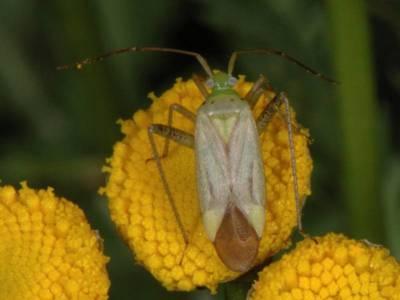 Adelphocoris quadripunctatus [Famille : Miridae]