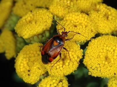 Deraeocoris ruber [Famille : Miridae]