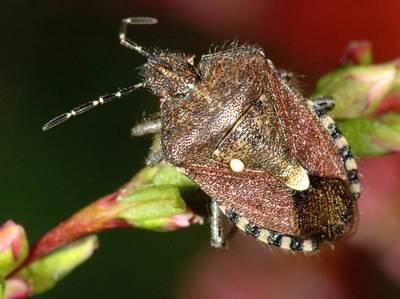 Dolycoris baccarum [Famille : Pentatomidae]
