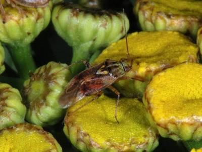 Lygus pratensis [Famille : Miridae]