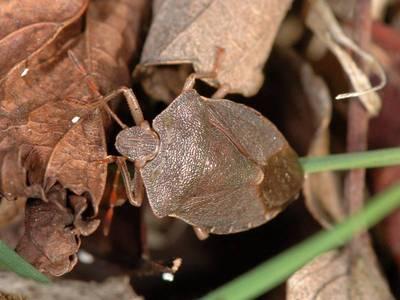 Palomena prasina [Famille : Pentatomidae]